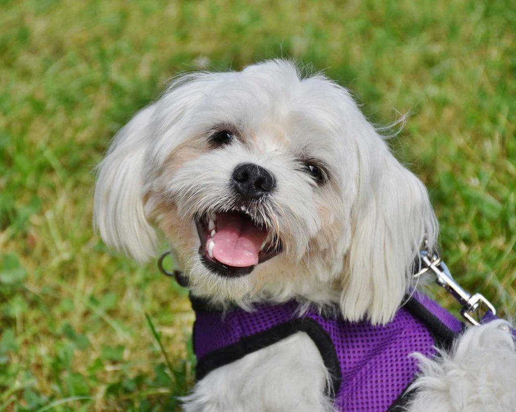 Cani da appartamento quali sono e come orientarsi nella scelta