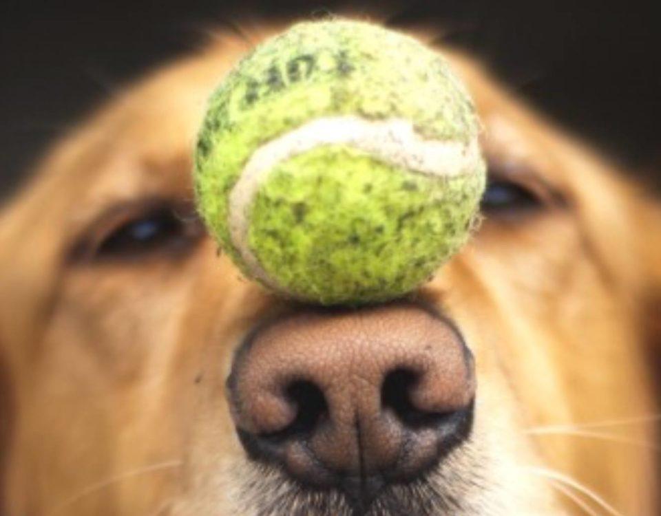 labrador con palla sul muso