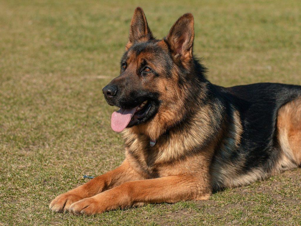 il cane pastore tedesco